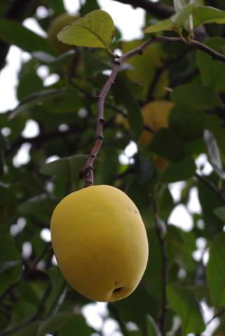 花梨の実が生ってた