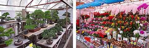 盆栽やイロトリドリの花が売ってたよ
