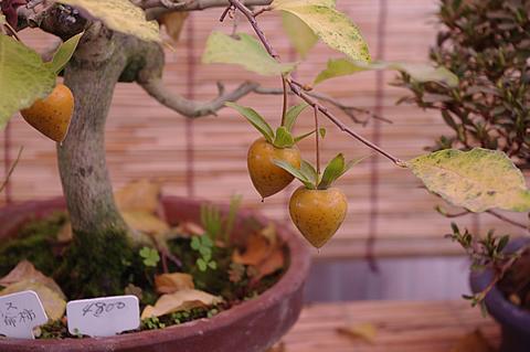 老爺柿のミニ盆栽