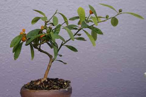キンズの盆栽