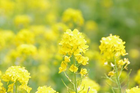 菜の花の黄色は希望を感じる