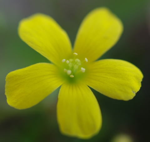 カタバミ 力強い黄色