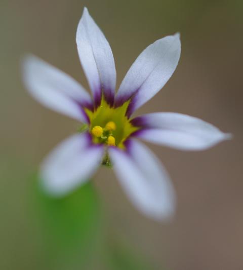 ニワゼキショウ 小さな花なのになんという色使い