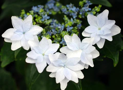 白い紫陽花 勝利のV