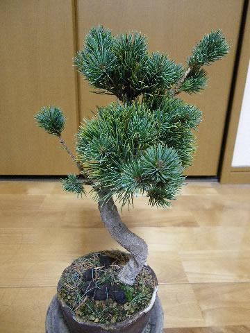 【盆栽】五葉松の剪定