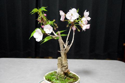 一才桜の盆栽が今年も咲きました